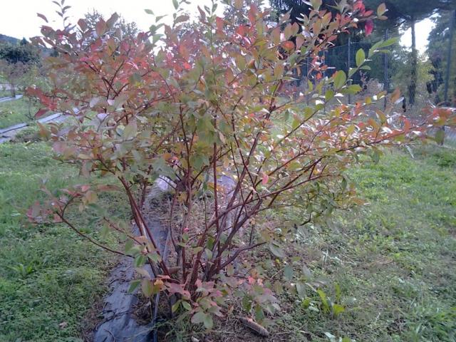 Coltivazione e vendita diretta presso l'azienda di frutti di bosco